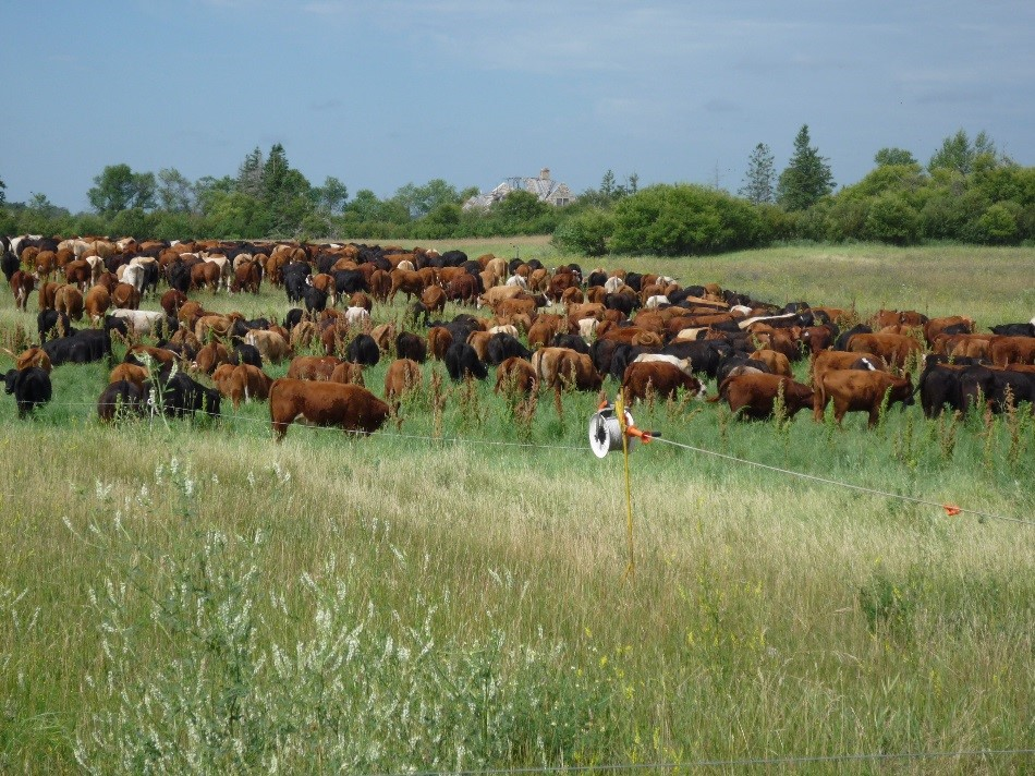 Figure 13. Livestock mob grazing a green manure. Photo credit: Brenda Frick.