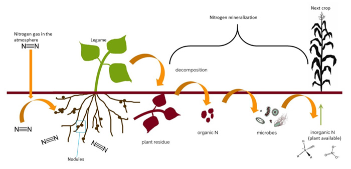 Nitrogen cycling with a legume green manure. Figure modified slightly from that kindly provided by Dr. Julie Grossman and Sharon Perrone, University of Minnesota.
