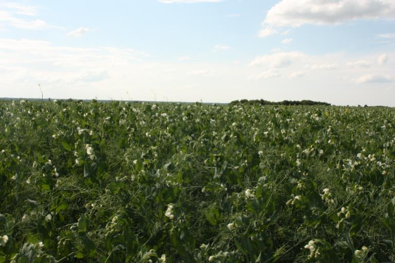 Green manures, like this field of peas, reach peak nitrogen around the time that they flower. Photo by Laura Telford.
