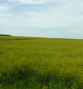 Green manures can smother weeds, can be allelopathic, and can be used to disrupt weed lifecycles. Photo of yellow sweetclover by Brenda Frick.