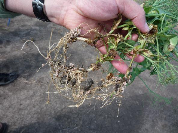 Inoculating green manures puts the legume roots in close contact with the Rhizobia
