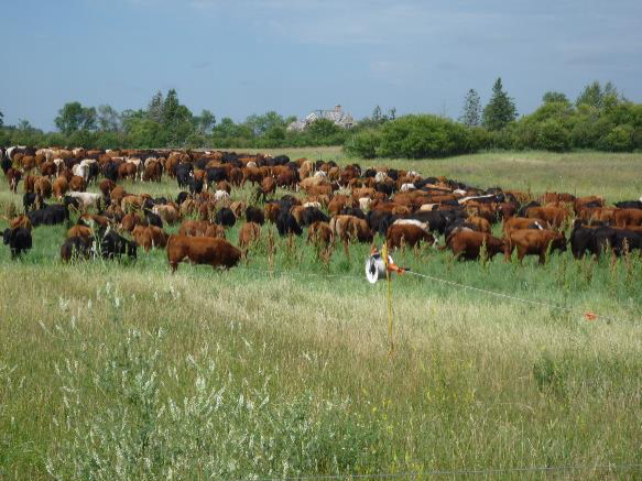Mob grazing livestock will often eat the green manure and weeds in the stand. Photo by Brenda Frick.