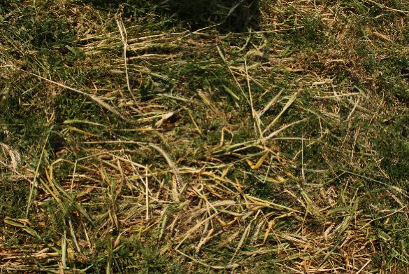 Leaving green manure residues on the soil surface can limit weed germination. Photo by Laura Telford.