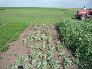 Faba beans terminated with a roller-crimper in research plots. Photo by Brenda Frick