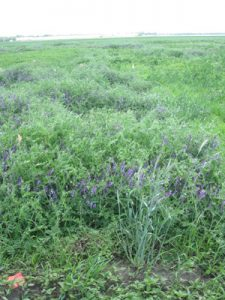 A field of hairy vetch in flower. Photo by Keith Bamford