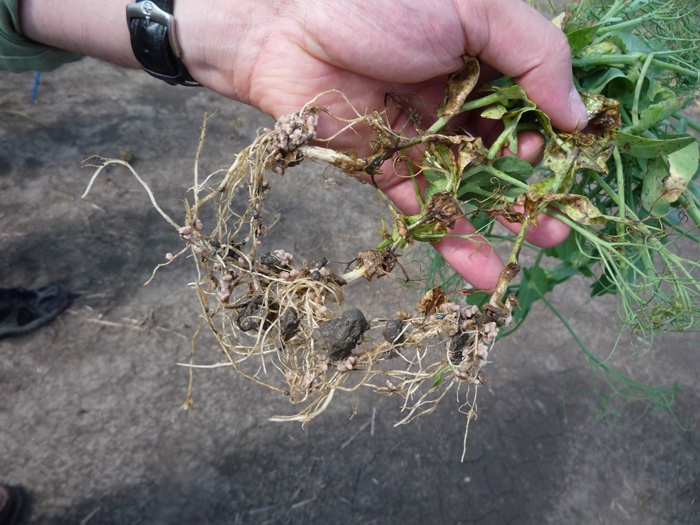 Rhizobia bacteria are responsible for nitrogen fixation, and take up residence in nodules on the legume root. Photo by Brenda Frick.