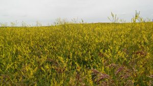 A field of flowering yellow sweetclover. Photo by Joanne Thiessen Martens